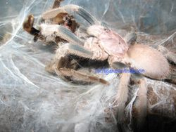"Philogius sp ""Aussie Goliath"" breeding 2012"