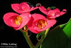 Crown of Thorns & Rain Drops #1