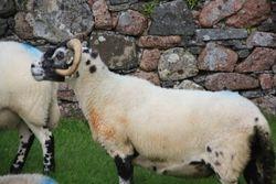 Sheep, Island of Iona