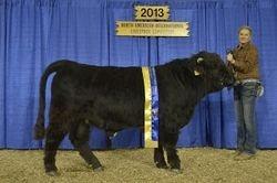 Champion Intermediate Yearling Bull Flatheads Lal