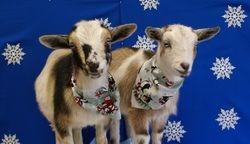 Xmas goats