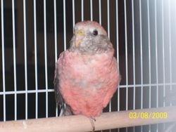 Bourke parakeet (Australian Grass parakeet)