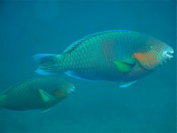 Surf Parrotfish, male and female