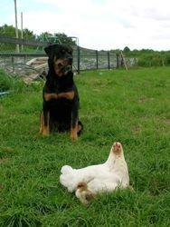 Rottweiler and calm hen, New Zealand