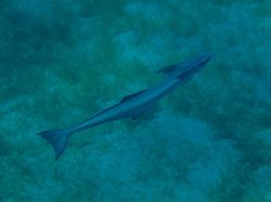 Ronnie, our pet Remora