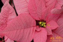 Nochebuena (Poinsettia) #1