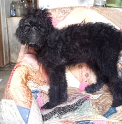 Barbara:  $995, female Airedoodle, born on 4-21-17, pics on 5-29-17, Mother is a Giant Airedale Terrier, Father is a Royal Standard Poodle