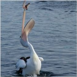 Pelican Catching Lunch