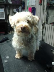 cookie-Bichon / Yorkie mix