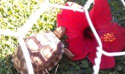 Sulcatas love their hibiscus!