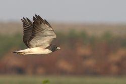 Gaviao-de-rabo-branco (Buteo albicaudatus)