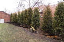Arborvitae Planting