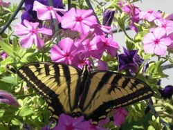 Swallowtail Butterfly on backporch