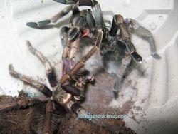 P. ultramurinus breeding 2011 (3)