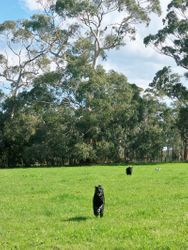 Dogs in paddock
