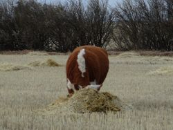 Roughin it on straw bunches