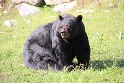 Black bear at Parc Omega, Montebello