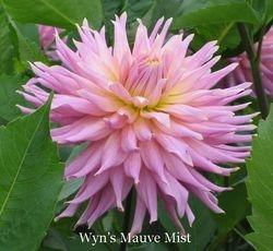 Wyn's Mauve Mist-B SC LtBl L/Y