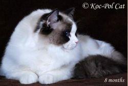 Koc-Pol cat Gargamel
