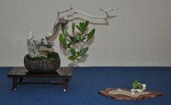 Conocarpus erctus