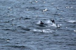 Dolphins at L'Ance Lamour, Labrador