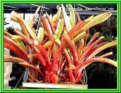 Neoregelia ampullacea 'Tigrinia'  variegated  $2.50