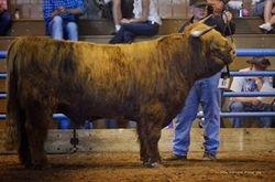 Senior Bull