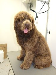 Charlie the Labradoodle