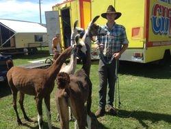 Shorn llamas