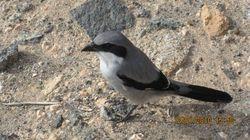Great Grey Shrike