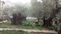 The Garden of Gethsemane...
