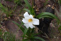 Canela de ema ( Vellozia sp )