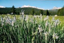 Wild iris and Sierra