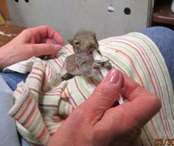 Baby squirrel feeding 2