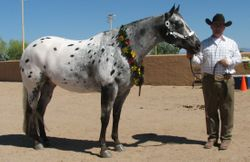 Dave Potter showing Grand Champion Gelding Jay Bar Roman Cloud