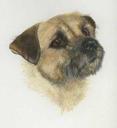 Daisy the Border terrier