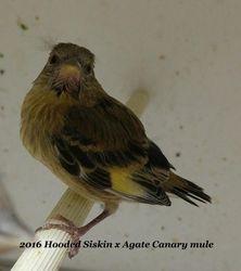 Hooded Siskin x Agate canary