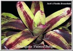 Neoregelia 'Painted Lady' $20.00
