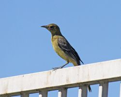 Hooded Oriole (f)