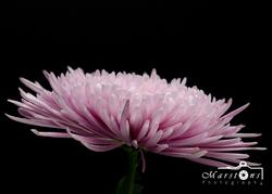 Pink Flower #1