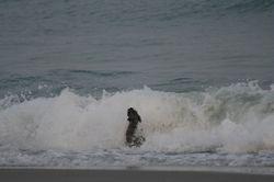 Dog in crashing wave