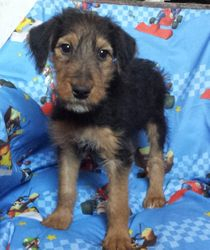 Pandora: $1055 after spay rebate, $1495 AKC registration with breeding rights, Stunning Giant AKC Airedale Terrier, quality, intelligence, born 2-18-17 to Princess and Casey