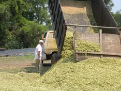 Putting Silage in the Pit