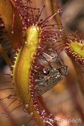 Rosnatka anglická (Drosera anglica), Norway