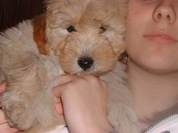 gold female mini goldendoodle