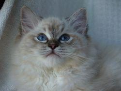Seal Lynx Colorpoint Kitten