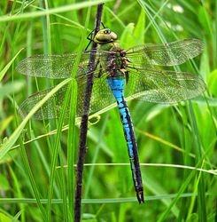 Blue Eyes Dragonfly by Jennifer Schmidt (AC)