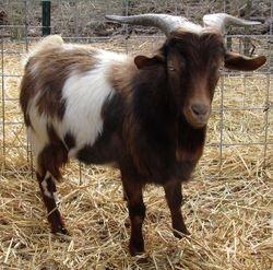 Fainters Friendly Farm Boo Ford MGR# C8615