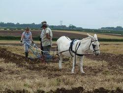 Donkey ploughing