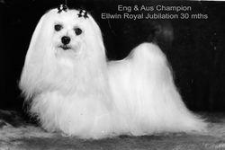 Eng/Aust Champion Ellwin Royal Jubilation